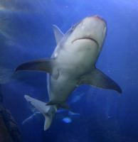 Denver Aquarium Shark 68 by Falln-Stock