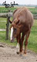 OLD - QH Mare - 11 by ElaineSeleneStock