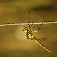 Dragonfly III by amensis