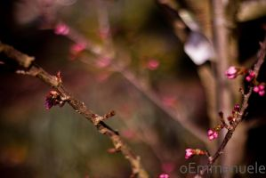 Cherry Blossom buds - Day 104 - 14/04/13 by oEmmanuele