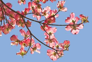 Dogwood Blossoms by muffet1