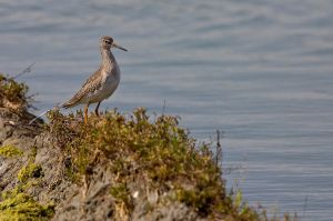 Common Redshank by Kriloner