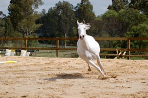 arab canter front on 2 by Chunga-Stock
