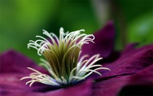 Clematis Complexity by andras120