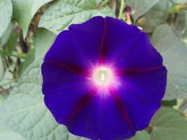 Ipomoea by DaltTT