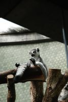 ring-tailed lemur chilling by hoshitsu