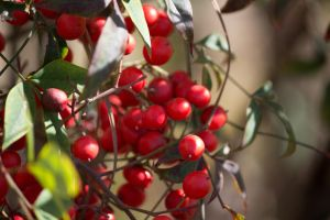 Winter Berries by dannypyle