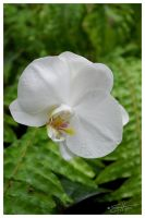 White Orchid by scottalynch