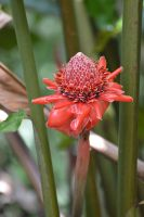 Red Ginger Lily for my friend Jenn Birthday by A1Z2E3R