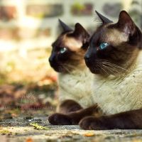 The Siamese Sphinxes by darkcalypso