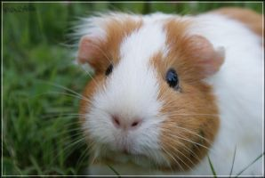 Lilo, my guinea pig by piix2folie