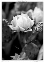 Cactus Bloom - bw by yellowcaseartist