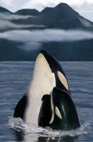 Orcas by amydrewthat