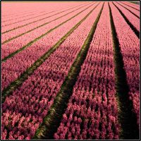 holland:flower field 3 by i-shadow
