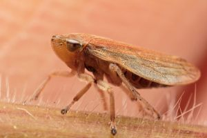Planthopper by snomanda