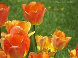 Tulips Of Fire by jim88bro