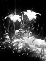 Lilies in Light by kbhollo