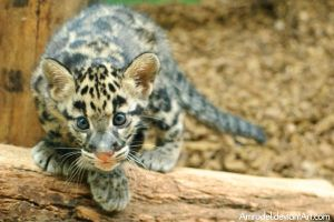Little Clouded Leopard II by amrodel