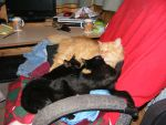 My Male Cat Pumpkin Acting as Surrogate Mother by angelstar22