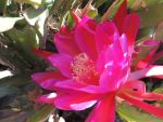 Orchid Cactus 02 by Rufina-Tomoyo