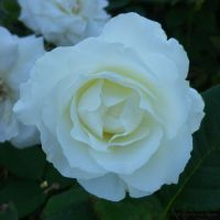 White Rose in Bloom by ShipperTrish