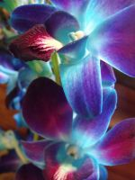 Blue Orchid 2 by Bleeding--Roses