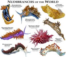 Nudibranches of the World by rogerdhall