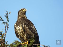 Young Eagle On Watch by wolfwings1