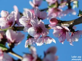 Peach Flowers by LucianPhotography