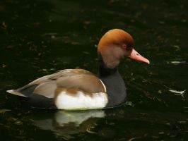Red-crested Pochard by webcruiser