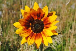 Sunflower 5 by LucieG-Stock