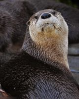 River Otter 6362 by robbobert