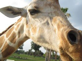 stock: Giraffe 4 by equizotical