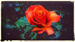 Retro Rose 4 by DorianStretton