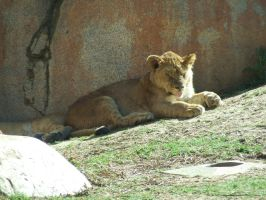Lion Cub in sun 1 by dtf-stock