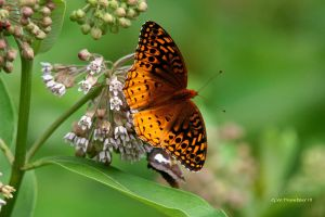 Great Spangled Fritillary by natureguy