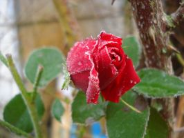 Frosted Rose by deoris