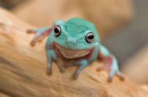 Whites tree frog V2 by AngiWallace