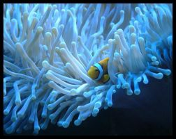 clownfish in aquarium by cenkis