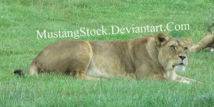 Lioness Stock by MustangStock