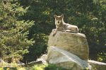 Wolf on a Rock by I-Heart-Photos