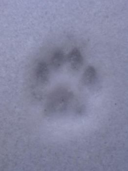 Cat Print in Snow by MartenFerret