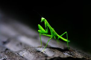Mantis religiosa by PasoLibre