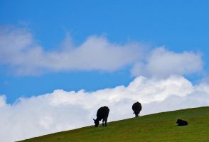 Cows on the hill by PaulWeber