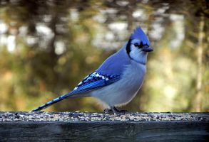 bluejay morning 2 by Lou-in-Canada