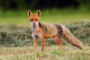 Fox by Holasek