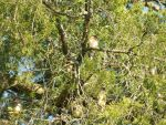 Spot the Cedar Waxwing by Elistariel