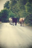 cows on the road by soaythari