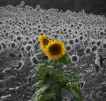 Sunflower by NiteMuse