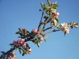 Apple Blossom 5 by YesIamEccentric